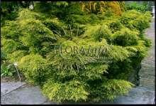 Image of   Kinesisk Enebær Old Gold - Juniperus chinensis Old Gold
