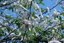 Image of   Alm. Hæg Watereri - Prunus padus Watereri