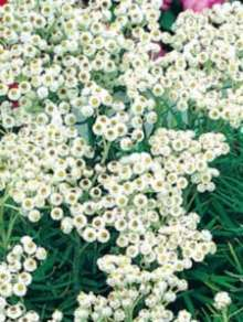 Image of   Almindelig Perlekurv Neuschnee - Anaphalis margaritcea...
