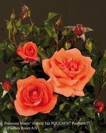 Image of   Storblomstrende rose Prinsesse Marie - Rosa x Prinsesse Marie