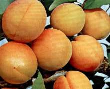 Image of   Abrikos Orangered - Abrikos Orangered