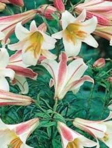 Kongelilje - Lilium regale
