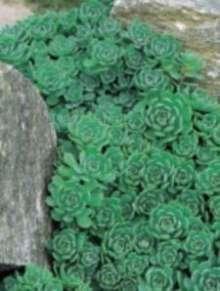 Image of   Afgansk stenurt - Sedum pachyclados