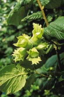Hassel - Corylus avellana