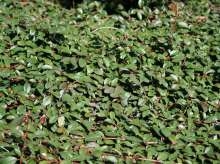Dværgmispel Rami - Cotoneaster dammeri Rami
