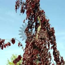 Hænge-blodbøg - Fagus sylvatica Purple Fountain