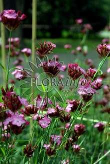 Karteusernellike - Dianthus carthusianorum