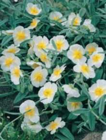 Image of   Soløje The Bride - Helianthemum hybrid The Bride