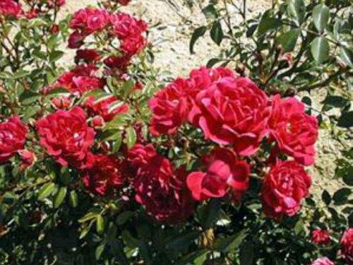 Buketrose 'Lovely Fairy', Roser - 1.20 m høj og 30 - 60 cm bred. Blomstrer fra juni til november. Dyb rosa duftende blomster. Placeres i sol eller halvskygge. Plantes i god næringsrig havejord. Tilsæt eventuelt rosenjord. Storblomstrende mellemhøj opret rose til haver, parker eller i kruk