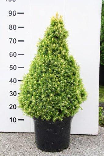 Sukkertopgran 'J.W.Daisy's White', Nåletræer - Lavt, pyramideformet nåletræ der får en tæt, regelmæssig vækst. Trives bedst i Sol. Planten er meget langsomtvoksende. Plantes i en god næringsrig muld. Denne sukkertopgran er mere lys i nålene end der nomale sukkertop er. Dermed er den med til at give et