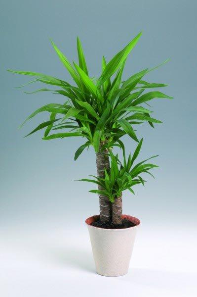 Yuccapalme / Yucca elephantipes / Stueplanter